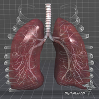 Lungs Anatomy External 3D Model