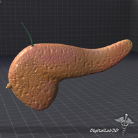 Pancreas External 3D Model