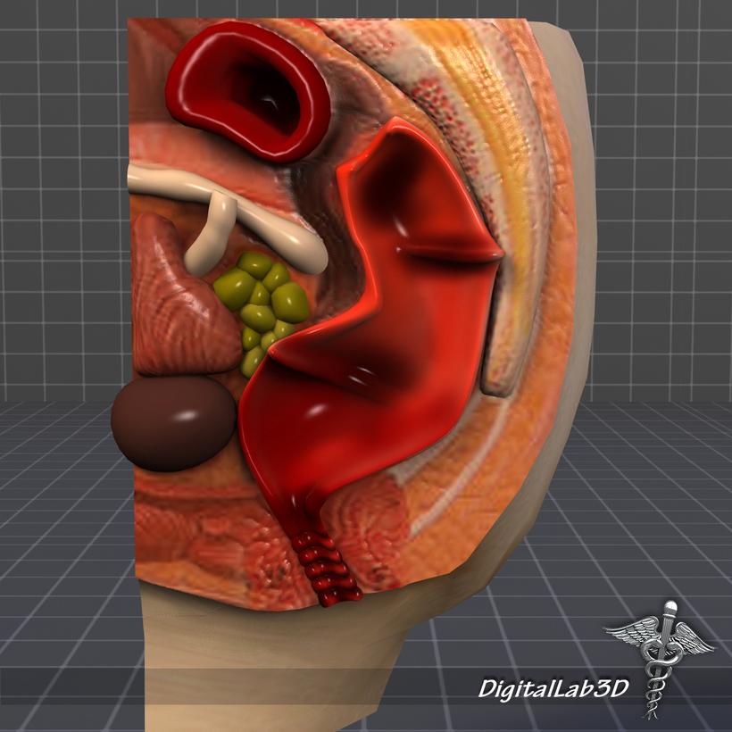 Rectum-Anus Anatomy 3D Model