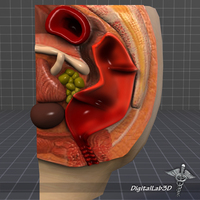 Rectum-Anus Anatomy 3D Model