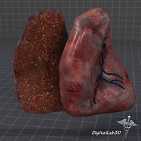 Spleen Anatomy 3D Model