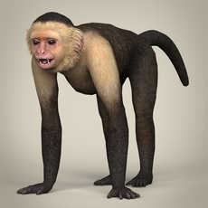 Low Poly Realistic Capuchin Monkey 3D Model