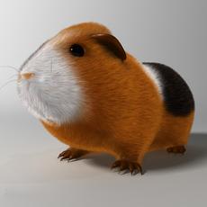 Guinea pig (Cavia porcellus) Rigged 3D Model