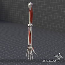 Human Arm Bone and Muscle Structure 3D Model