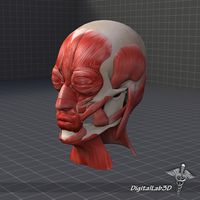 Facial Muscle Structure 3D Model