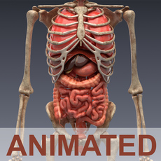Human anatomy Animated skeleton and internal organs 3D Model