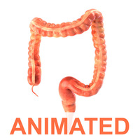 Human colon. Animated 3D Model