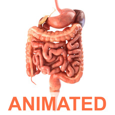 Digestive system. Animated 3D Model