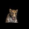 09 47 43 958 cheetahblackpic90 4