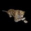 09 47 46 795 cheetahblackpic94 4