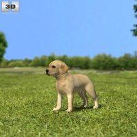 Labrador Retriever Puppy 3D Model