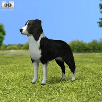 Border Collie 3D Model