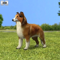 Rough Collie 3D Model