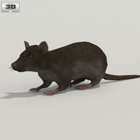 Common Rat 3D Model
