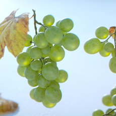 Grapes Single Fruit Bunches and Model Kit 3D Model