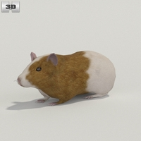 Guinea Pig 3D Model