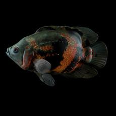 Astronotus Ocellatus (Oscar fish) 3D Model
