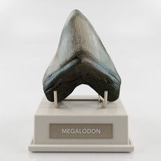 Megalodon prehistoric shark tooth 3D Model