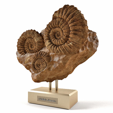 Mellitella ammonites and rock 3D Model