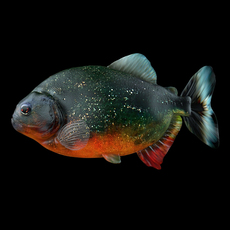 Piranha fish (Pygocentrus Nattereri) 3D Model
