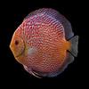 Symphysodon Discus fish (Pigeon blood) 3D Model