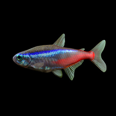 Neon tetra fish (Paracheirodon innesi) 3D Model