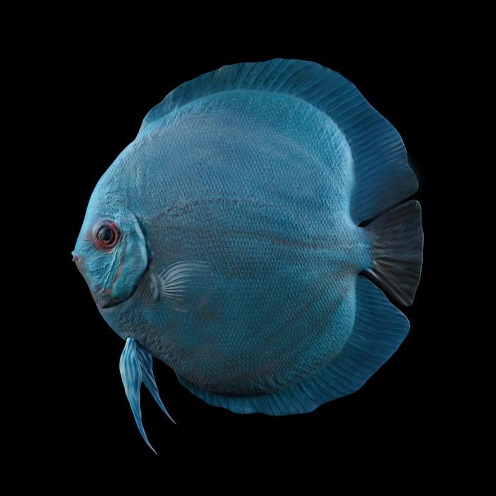 Symphysodon Discus Fish Blue Diamond 3d Model