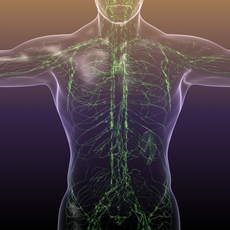 Lymphatic System in Human Body 3D Model
