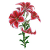 04 39 52 430 flower lily 0003 4