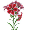 04 39 52 858 flower lily 0004 4