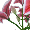 04 40 13 116 flower lily 0008 4