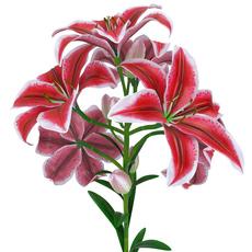 Lily Tiger pink 3D Model