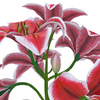 04 40 27 819 flower lily 0005 4