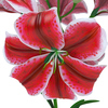 04 40 31 111 flower lily 0006 4