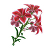 04 40 44 581 flower lily 0012 4