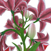 04 40 52 749 flower lily 0009 4