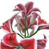 04 40 52 910 flower lily 0007 4