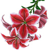 04 40 53 567 flower lily 0011 4