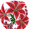 04 41 49 628 flower lily 0002 4