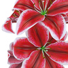 04 43 09 477 flower lily 0010 4