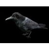 11 14 02 985 crows4 4