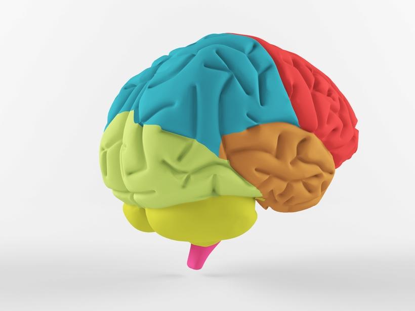 Human Brain 3d Model
