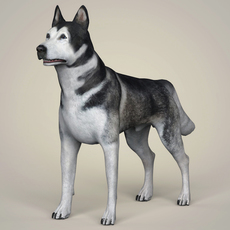 Realistic Alaskan Malamute Dog 3D Model