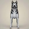 08 19 25 713 realistic alaskan malamute dog 02 4