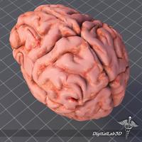 Human Brain Structure 3D Model
