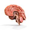 08 18 23 706 brain anatomy 1 4