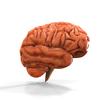 08 18 38 167 brain anatomy 4 4