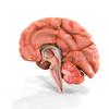 08 18 41 935 brain anatomy 2 4