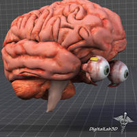 Eye and Brain 3D Model