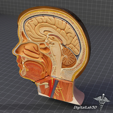 Human Head Anatomy 3D Model